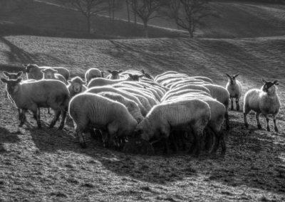 Le Mouton au Petit Dejeuner - A Devon Village