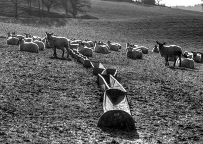 Sheep and Troughs - A Devon Village
