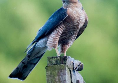 Sparrow Hawk Hunting (1)