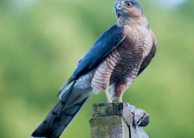 Sparrow Hawk Hunting (2)