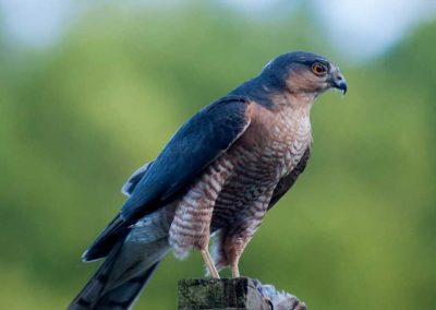 Sparrow Hawk Hunting (3)