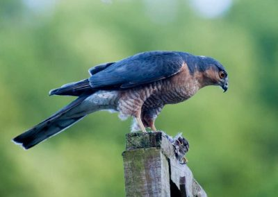 Sparrow Hawk Hunting (4)
