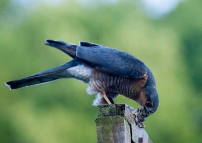 Sparrow Hawk Hunting (5)