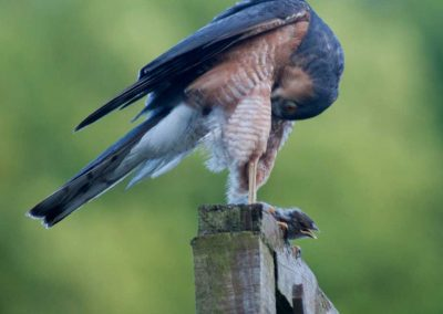 Sparrow Hawk Hunting (6)