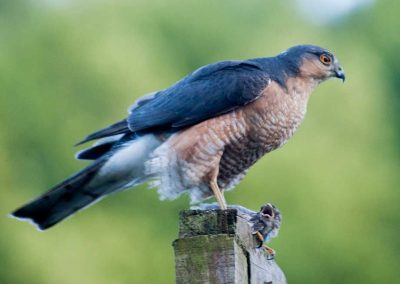 Sparrow Hawk Hunting (7)