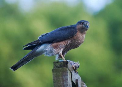 Sparrow Hawk Hunting (8)
