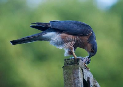 Sparrow Hawk Hunting (9)