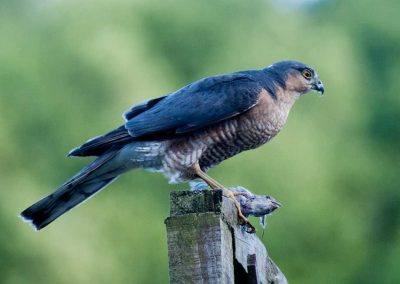 Sparrow Hawk Hunting (10)