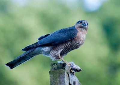 Sparrow Hawk Hunting (15)