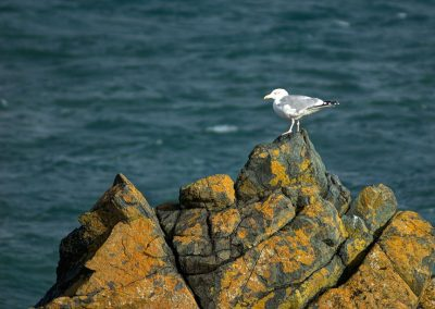 Herring Gull - St Ives