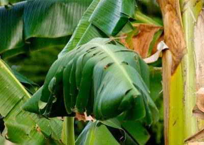 Leaf Hound - Carriacou