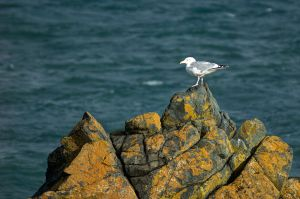 Herring Gull.